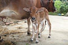 Het kalf met de koe Stock Afbeelding