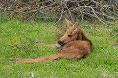 Het Kalf van Amerikaanse elanden stock fotografie
