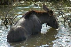 Het kalf van Amerikaanse elanden Stock Afbeeldingen