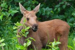 Het Kalf van babyamerikaanse elanden stock afbeelding