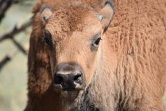 Het kalf van bizonbuffels rechtdoor headshot Royalty-vrije Stock Foto's