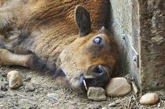 Het kalf van buffels Stock Foto