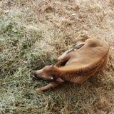 Het Kalf van buffels stock foto's