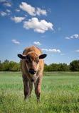Het kalf van buffels Royalty-vrije Stock Afbeeldingen