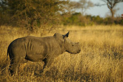 Het Kalf van de babyrinoceros in Afrika Royalty-vrije Stock Foto's