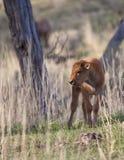 Het kalf van de bizon Stock Afbeeldingen