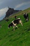 Het kalf van de koe Stock Fotografie