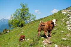 Het kalf van de koe op alpiene helling Stock Afbeeldingen