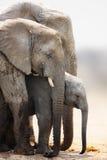 Het kalf van de olifant Royalty-vrije Stock Afbeelding