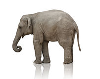 Het kalf van de olifant Stock Foto