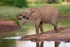 Het kalf van de olifant Stock Afbeelding