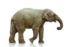 Het kalf van de olifant Stock Afbeeldingen