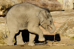Het kalf van de olifant het eten Royalty-vrije Stock Fotografie