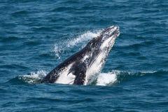 Het Kalf van de Walvis van de gebochelde Royalty-vrije Stock Foto's