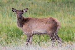 Het kalf van elanden (canadensis Cervus) Royalty-vrije Stock Afbeeldingen