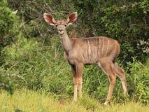 Het kalf van Kudu. Royalty-vrije Stock Afbeeldingen