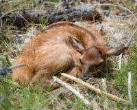 Het kalf van slaapelanden Stock Foto