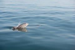 Het kalfs het springende overzeese van de babydolfijn oceaan te voorschijn komen Royalty-vrije Stock Foto's