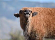 Het kalfssnuifjes van bizonbuffels Royalty-vrije Stock Foto