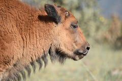 Het kalfstong van bizonbuffels in neus Royalty-vrije Stock Foto's