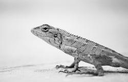 Het Kameleon stock fotografie