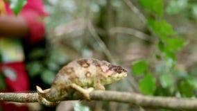 Het Kameleon van bruine Outstalet boos op een het wildscène in Madagascar, Afrika stock video