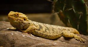 Het Kameleon van de panter Stock Foto's