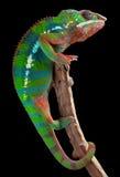 Het kameleon van de panter op tak Stock Foto