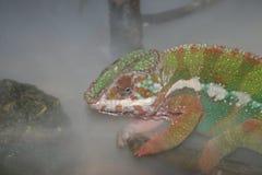 Het kameleon van de panter (pardalis Chamaeleo) Stock Afbeelding