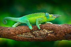 Het Kameleon van Jackson ` s, Trioceros-jacksonii, die op de tak in boshabitat zitten Exotisch mooi endemisch groen reptiel met l royalty-vrije stock afbeelding