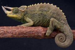 Het kameleon van Jackson van Willegensi Royalty-vrije Stock Afbeeldingen