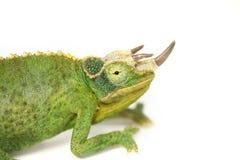 Het Kameleon van Jacksons Royalty-vrije Stock Afbeeldingen