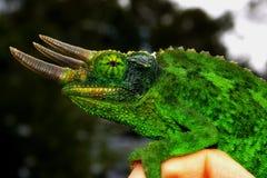 Het Kameleon van mannelijk Jackson - Chamaeleo Jacksonii Xan Stock Fotografie