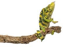 Het Kameleon van Meller, Reuze één-Gehoornd Kameleon Royalty-vrije Stock Afbeelding