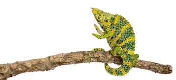 Het Kameleon van Meller, Reuze één-Gehoornd Kameleon Stock Foto