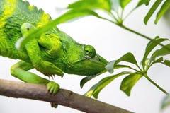 Het Kameleon van Meller (Trioceros-melleri) Stock Afbeelding
