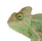 Het Kameleon van Yemen Stock Afbeelding
