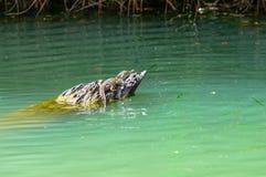 Het Kanaal van Panama van de krokodil van de baby Royalty-vrije Stock Afbeelding