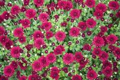 Het karmozijnrode behang van de mums bloemeninstallatie Stock Foto's