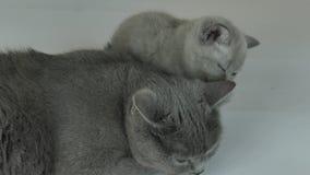 Het katje behandelt zijn moederkat stock videobeelden