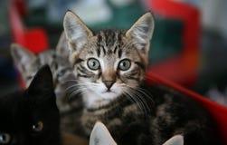 Het katje dat van de gestreepte kat omhoog eruit ziet royalty-vrije stock afbeelding