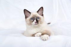 Het katje dat van Ragdoll met witte poten pronkt Royalty-vrije Stock Afbeelding