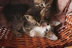 Het katje in de mand Stock Foto