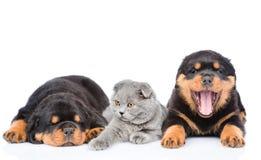 Het katje ligt tussen de twee rottweilerpuppy Geïsoleerd op whit royalty-vrije stock foto's