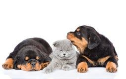 Het katje ligt tussen de twee rottweilerpuppy Geïsoleerd op wit stock afbeelding