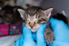 Het katje met bindvliesontsteking holded in de handen van een dierenarts royalty-vrije stock afbeelding