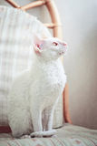 Het katje Rex die van Cornwall het venster bekijkt Royalty-vrije Stock Foto's