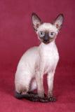 Het katje Rex van Cornwall Royalty-vrije Stock Foto's
