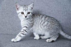 Het katje steelt grijze gestreept Katje op grijs Stock Foto