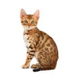 Het katje van Bengalen Stock Afbeeldingen